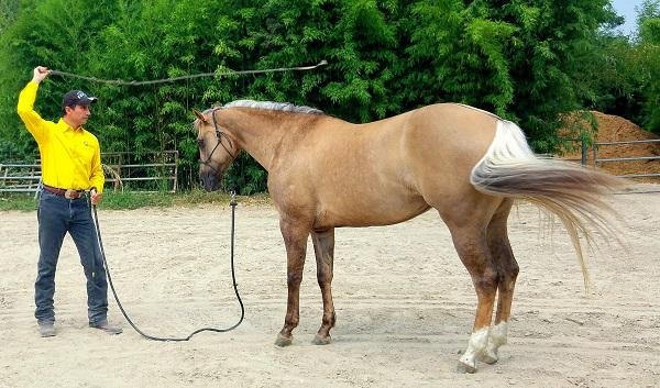articolo-desensibilizzazione-cavallo-4
