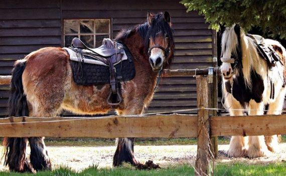 Foto-articolo-cavalli a sangue freddo
